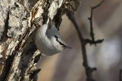 Nuthatch die op de boomstam van de steenberk in bos gaan voeden Stock Afbeeldingen