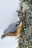 Nuthatch die zich aan een boomstam vastklampen Stock Afbeeldingen