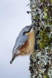 Nuthatch die zich aan een boomstam vastklampen Royalty-vrije Stock Foto's