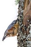 Nuthatch die zich aan een boomstam vastklampen Stock Fotografie