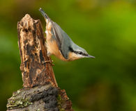 Nuthatch on driftwood Royalty Free Stock Photos