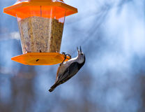 Nuthatch Eating royalty free stock photography