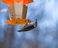 Nuthatch Eating royalty free stock images