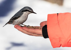 Nuthatch Eating From a Human Hand Royalty Free Stock Photos