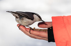 Nuthatch Eating From a Human Hand Stock Images