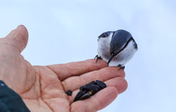 Nuthatch Eating From a Human Hand. View of Nuthatch Eating From a Human Hand Stock Images