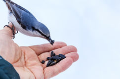 Nuthatch Eating From a Human Hand. View of Nuthatch Eating From a Human Hand Stock Photo
