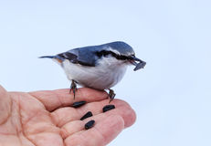 Nuthatch Eating From a Human Hand. View of Nuthatch Eating From a Human Hand Royalty Free Stock Image