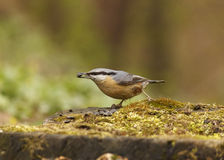 Nuthatch. Eating seed on stub of tree Stock Photos