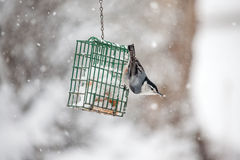 Nuthatch eating in the snow Stock Image