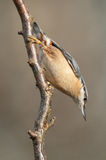 Nuthatch Royalty Free Stock Image