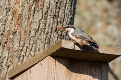 Nuthatch. Eurasian Nuthatch on top of the nest box with building material between its beak Stock Photos
