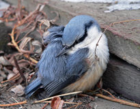 Nuthatch (europaea Sitta) Royalty-vrije Stock Afbeelding