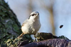 Nuthatch. European Nuthatch eating sunflower seeds, shallow depth of field Stock Photography