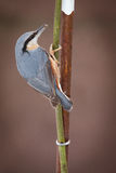 Nuthatch Stock Image