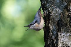 Nuthatch extracts food sitting on the side of the tree royalty free stock photography