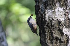 Nuthatch extracts food sitting on the side of the tre. E. Birds stock image