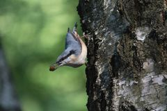 Nuthatch extracts food sitting on the side of the tree. Birds Stock Photography