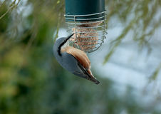 Nuthatch feasting on fat-ball Royalty Free Stock Photography