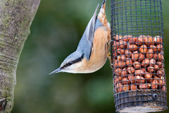 Nuthatch on feeder. Nuthatch perched on feeder with vibrant colours Royalty Free Stock Photography
