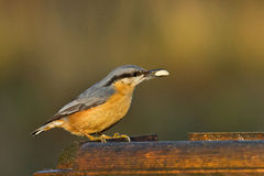 Nuthatch at a Feeder Stock Photos