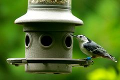 Nuthatch on Feeder royalty free stock images