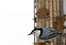 Nuthatch on feeder I royalty free stock photo