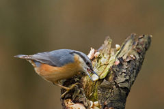 Nuthatch Feeding Stock Image