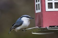 Nuthatch. Feeding from a bird feeder Royalty Free Stock Photo