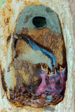 Nuthatch feeding chicks in nest cavity Stock Photos