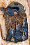 Nuthatch feeding chicks in nest Stock Photography