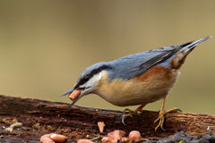 Nuthatch Feeding at Log Stock Photography