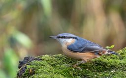 Nuthatch feeding on a log royalty free stock photos