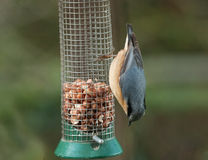 Nuthatch feeding on peanuts Royalty Free Stock Images