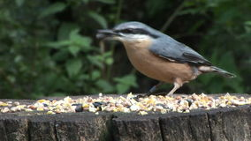 Nuthatch feeding of table in England UK. Close up of Nuthatch eating seeds on table in England stock video
