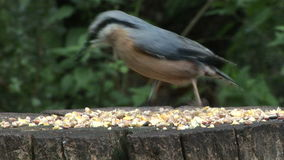 Nuthatch feeding of table in England UK. Close up of Nuthatch eating seeds on table in England stock video footage