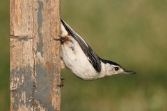 Nuthatch On A Fence Royalty Free Stock Images