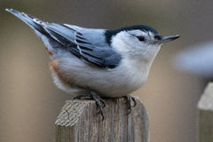 Nuthatch on Fencepost Royalty Free Stock Image
