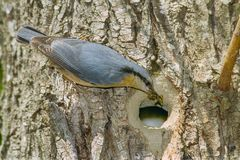 Nuthatch with food at the entrance of its nest. Eurasian nuthatch bringing insects to feed the chicks to the nest hole in a tree trunk Royalty Free Stock Photo