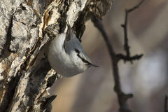 Nuthatch going to feed on the stone birch trunk in forest Stock Images