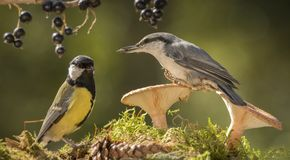 Nuthatch and great tit standing with a mushroom Stock Photo