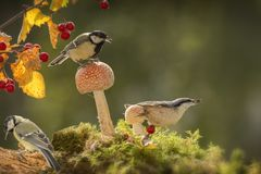 Nuthatch and great tit standing on mushrooms Stock Photo