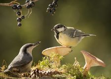 Nuthatch and great tit standing with mushrooms Stock Photography