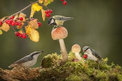 Nuthatch and great tit are standing with mushrooms Royalty Free Stock Image