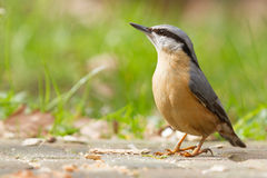 A Nuthatch on the ground Stock Image