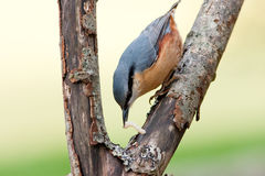 Nuthatch with Grub in Bill. On Rotten Branch stock images
