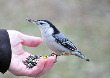 Nuthatch In Hand Stock Image