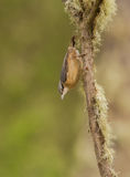 Nuthatch hanging down from lichen-covered branch Royalty Free Stock Images