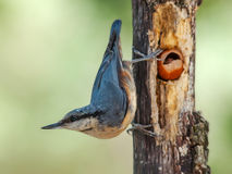 Nuthatch with hazelnut Royalty Free Stock Photography
