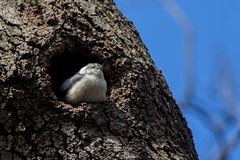 Nuthatch In House Royalty Free Stock Photo